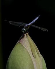 DragonFly_SAF0861 (sara97) Tags: copyright©2016saraannefinke dragonfly flyinginsect insect missouri mosquitohawk nature odonata outdoors photobysaraannefinke predator saintlouis towergrovepark