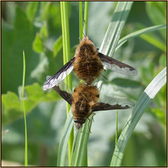 Mating Bee Flies (Full Moon Images) Tags: woodwalton fen bcn wildlife trust greatfen nnr national nature reserve cambridgeshire insect macro mating bee fly
