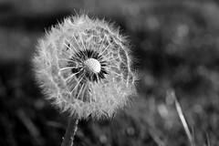 Dan de Lion (rainbowcave) Tags: dandelion clock blowball pusteblume löwenzahn nature beautiful bw