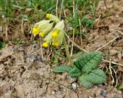 Himmelsschlüssel oder Schlüsselblume (mama knipst!) Tags: schlüsselblume himmelsschlüssel wildblume wildflower natur