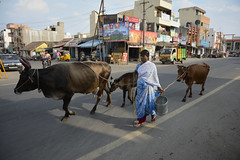 india__19 (BooBoopdx) Tags: nikon d7100 afs dx 1685mm 3556 india travel color photography people woman cattle cows tiruvanamalai street