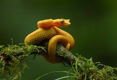 Eyelash viper (anacm.silva) Tags: eyelashviper viper víbora cobra snake wild wildlife nature natureza naturaleza réptil reptile costarica guapiles cope