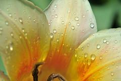 tulpe creme-orange (silkebahr) Tags: tulpen frühling flower sonne spring licht tropfen blumen blüte natur macro