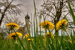 Yellow Flower Trees (W_von_S) Tags: yellowflowertrees flower blumen löwenzahn church stmargaretha ebersberg bavaria bayern haselbach germany deutschland perspektive perspective depthoffield tiefenschärfe wvons werner outdoor landscape landschaft sony april 2017 spring