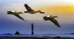 A new day (kunstschieter) Tags: goose nieuwpoort belgium belgië ganzen vuurtoren lighthouse vlaanderen coast kust sunrise zonsopkomst
