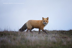 Red Fox (namra38) Tags: armanwerthphotography fox redfox wildlife washington san juan