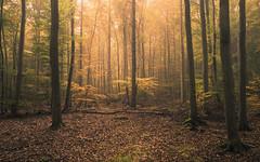 Autumn (Netsrak) Tags: baum eifel forst landschaft natur nebel wald fog landscape mist nature tree trees woods bäume