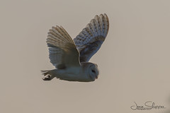 Foggy Owl Flight (jammo s) Tags: barnowl owl tytoalba wildbarnowl wildowl birdofprey birdinflight bird wildlife nature lightroom canoneos80d canonef400mmf56lusm norfolkbarnowls