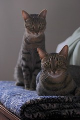 Cricket (R) with shy Cousin (rootcrop54) Tags: cousin cricket multiple cats male related cousins foster rescue tabby tabbies striped tiger stripe macska kedi 猫 kočka kissa γάτα köttur kucing gatto 고양이 kaķis katė katt katzen kot кошка mačka maček kitteh chat ネコ