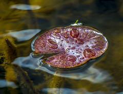 Broad and Wet. (Omygodtom) Tags: pond tannersprings leaves raindrop waterdrops real outdoors abstract art natural nature nikon nikkor digital nikon70300mmvrlens d7100 dof perspective