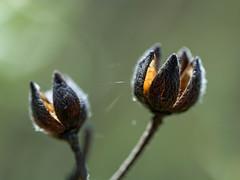 [Seeds] under shelter for Macro Monday (Markus Nissa) Tags: seeds macro monday macromonday d7100 nature plante graines détail detail light dof