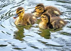 Everything Is Just Ducky! (Gary Grossman) Tags: ducklings marllards babies garygrossmanphotography ducks lake pond water wildlife waterfowl wild pacificnorthwest wildlifephotography oregon nature