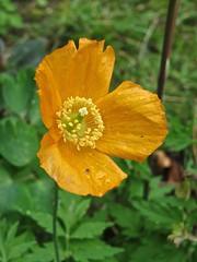 9662 Orange Welsh Poppy - Meconopsis cambrica (Andy - Busyyyyyyyyy) Tags: 20170417 bbb bloom border fff flower longborder mmm ooo orange ppp welshpoppymeconopsiscambrica www