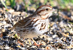 song sparrow at Lake Meyer Park IA 854A9736 (lreis_naturalist) Tags: song sparrow lake meyer park winneshiek county iowa larry reis