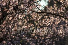 Alf Ribeiro 0135 0059 (Alf Ribeiro) Tags: corderosa flor flores galhos parqueurbano parquedocarmo planta prunussp regiãosudeste cerejeira ensolarado flora floração florida florido inverno zonaleste árvore