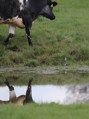 No peace for Peewit (Wildlife Terry well behind) Tags: bull bullocks beef cattle lapwing peewit trentmerseycanal betchton sandbach cheshire countryside domesticated animals