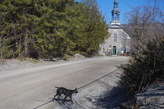Bully doing one of the trails in Old Chelsea (lezumbalaberenjena) Tags: old chelsea gatineau quebec spring time springtime primavera dog perro chien chiot boston terrier bully church iglesia st stephens