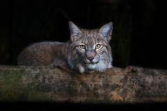 junger Lynx (Mel.Rick) Tags: wildparklüneburgerheide säugetiere raubtiere natur tiere zoo wildpark luchs raubkatze kleinkatze