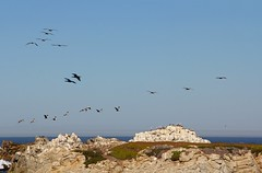 Air Traffic (GeminEye27) Tags: ocean seascape pelicans birds cormorants pacificocean pacificgrove seabirds pointpinos