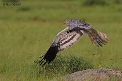 Montagu's Harrier (sharadagrawal931978) Tags: wild india bird nature birds photography wildlife rajasthan udaipur bif birdinflight