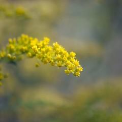 Un peu de bonheur ***-- --° (Titole) Tags: solidago titole nicolefaton yellow flower squareformat shallowdof friendlychallenges goldenrod storybookwinner thechallengefactory unanimouswinner challengeyouwinner cyunanimous