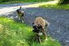 IMG_3326 (martin.paul) Tags: dog max dogs animal animals paul tiere location hund orte germanshepherd hunde tier locations ort kangal beardog anatolianshepherd lauterberg deutscherschäferhund anatolischerhirtenhund bärenhund germanischerbärenhund deutscherschäferhundkangalmix germanbeardog mixmischling