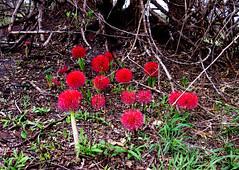 Feuerball-Lilie, Fireball Lily (Scadoxus multiflorus) , NGID877349229 (naturgucker.de) Tags: scadoxusmultiflorus lakemburonationalpark naturguckerde cklausewald ngid877349229