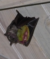 Jamaican Rat Bat (Jamdowner) Tags: feeding bat almond kingston jamaica ugly unknown fruitbat standrew cherrygarden jamaicensis chiroptera artibeus ratbat artibeusjamaicensis