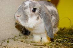 Fluffy 09 2014 (jlfaurie) Tags: pet france bunny gris conejo fluffy moustache francia blanc lapin mechas bélier jlf animaldecompagnie mesnuls jlfaurie dsfpm mpmdf