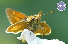 Large Skipper (BC HQ) Tags: macro closeup butterfly butterflies competition 2014 largeskipper butterflyconservation bigbutterflycount