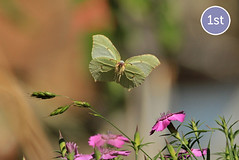 Brimstone (BC HQ) Tags: butterfly butterflies competition photograph winner photographiccompetition butterflyconservation bigbutterflycount