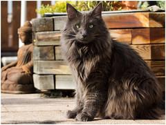 Taken by surprise (FocusPocus Photography) Tags: pet animal cat feline chat kitty norwegian gato katze haustier kater tier longhaired luan norweger forestcat waldkatze norwegische langhaarkatze