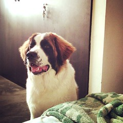 Un ladrido significa 'levntate'; dos ladridos 'muvete'; tres ladridos 'te quito la sabana'. As funciona mi despertadora personal. (VenegasDavid) Tags: dog love puppy friend cachorro sanbernardo bernhardiner dogy bernhardshund