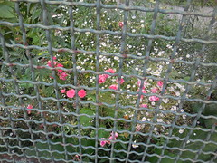 DSCN9186 (en-ri) Tags: flowers verde foglie nikon rosa fiori bianco ringhiera fiorellini roselline