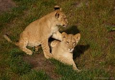 Welpjes (ditmaliepaard) Tags: ngc lions safaripark beeksebergen leeuwen hilvarenbeek welpjes