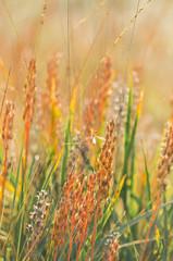 Orange field (Gies!) Tags: summer sun field yellow bokeh meadow organge