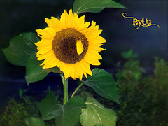 sun in the night ;-) (Ryuu) Tags: flowers autumn light shadow sky plants flower macro cute green nature floral leaves yellow closeup night composition dark gold golden evening leaf petals focus dof zoom sweet bokeh dusk flash sunny petal sunflowers kawaii sunflower  hedgefence