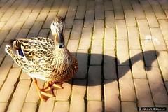 2014-04 Lekker een beetje waggelen in de Voorstraat  (Brielle) (About Pixels) Tags: netherlands birds animals fauna nederland vogels natuur april brielle dieren zuidholland 2014 regionaal nld 0419 voorne voorneputten collecties provinciezuidholland mnd04 aboutpixels lenteseizoen