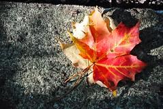 fallen (christiaan_25) Tags: autumn light shadow color fall nature sunshine season leaf maple woods ground explore fallen change veins 70 fell oct42014