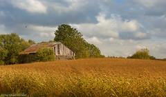 golden fields (martinaschneider) Tags: sky ontario fall field farm bluesky