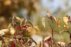 Indigo bunting (juvenile) (Rita Wiskowski) Tags: male bird wisconsin song young indigo juvenile bunting benderpark