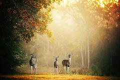 Three Deer (slight clutter) Tags: morning autumn mist fall nature fog canon landscape texas wildlife deer foliage katyahorner