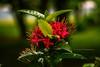 Combretum Indicum (S. Imran's Photography) Tags: chinese honeysuckle creeper rangoon indicum combretum