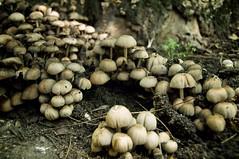 Hoş geldiniz dedi yaşlısı, belki misafirimiz olursunuz? (Atakan Eser) Tags: life family shadow tree nature forest mashroom mantar aile orman toprak doğa ağaç yaşam gölge