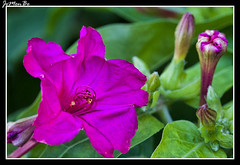 Dondiego de noche (Mirabilis jalapa) (jemonbe) Tags: blanco flor amarillo mirabilis periquito maravilla clavellina mirabilisjalapa dondiego donpedros dondiegodenoche jemonbe rosaoscuro