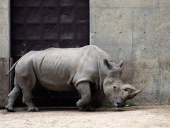 """White Rhinoceros side • <a style=""""font-size:0.8em;"""" href=""""http://www.flickr.com/photos/34843984@N07/15353735288/"""" target=""""_blank"""">View on Flickr</a>"""