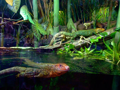 """Caiman Lizards looking at me • <a style=""""font-size:0.8em;"""" href=""""http://www.flickr.com/photos/34843984@N07/15353866898/"""" target=""""_blank"""">View on Flickr</a>"""