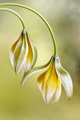 Tulipa tarda (Mandy Disher) Tags: flower green nature beauty yellow tulip tulipatarda