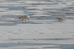 Polar Bear Mother and Cub Walking an Ice Floe Prince Leopold Island Lancaster Sound Canada High Arctic (In Memoriam Ngaire Hart) Tags: summer white canada cold history ice expedition nature weather birds rock season spectacular landscape photography grey kill wildlife extreme birding documentary calm historic polarbear seal strata icefloes blinding inuit northamerica mirrored bleak remote cubs prey iceberg zodiac geology frigid nunavut survival climate arid nesting northwestpassage birdsanctuary sheer fulmars kittiwakes seamammal qikiqtaaluk moodiness canadianarctic beardedseal akademikioffe franklinexpedition devonisland higharctic arcticskies lancastersound princeleopoldisland qausuittuq princeregentinlet akademikvavilov polarbeartwins russianscientificvessel quttiktuq eriagn ngairehart parrychannel 70thanniversarystroch polarbearfemale