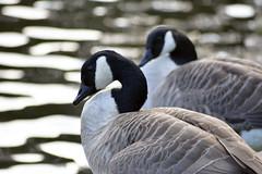 _DSC0265 (Michael John Corcoran) Tags: nature birds geese canadian nikond5200